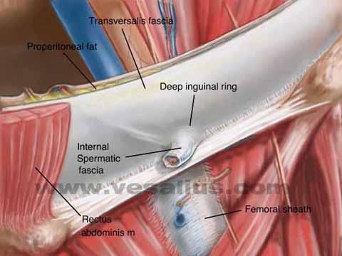 Vesalius Clinical Folios Anterior Inguinal Hernia Anatomy