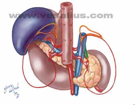 Vesalius clinical folios spleen anatomy ccuart Choice Image