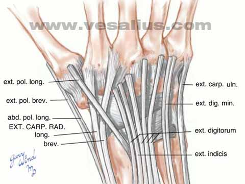 Vesalius Clinical Folios: Wrist Anatomy, Dorsal View