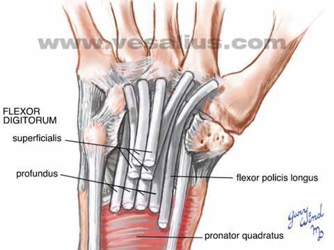 Wrist anatomy volar view 5