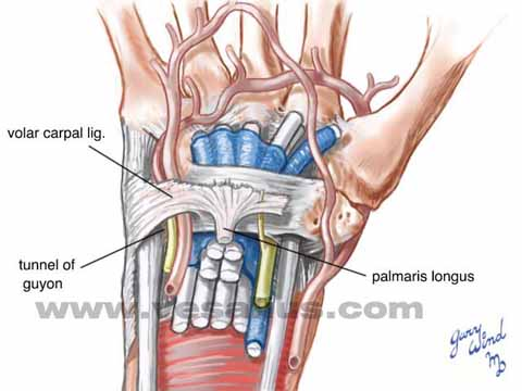 Vesalius Clinical Folios: Wrist Anatomy, Volar View