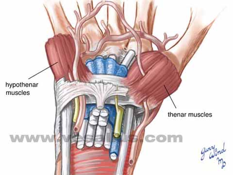 Unique Anatomy Of Wrist Model - Anatomy And Physiology Biology ...